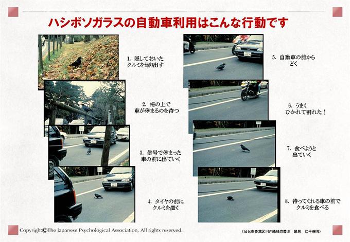カラスの自動車利用行動(クルマにクルミを割らせる行動の学習)2