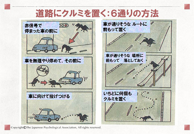 カラスの自動車利用行動(クルマにクルミを割らせる行動の学習)8
